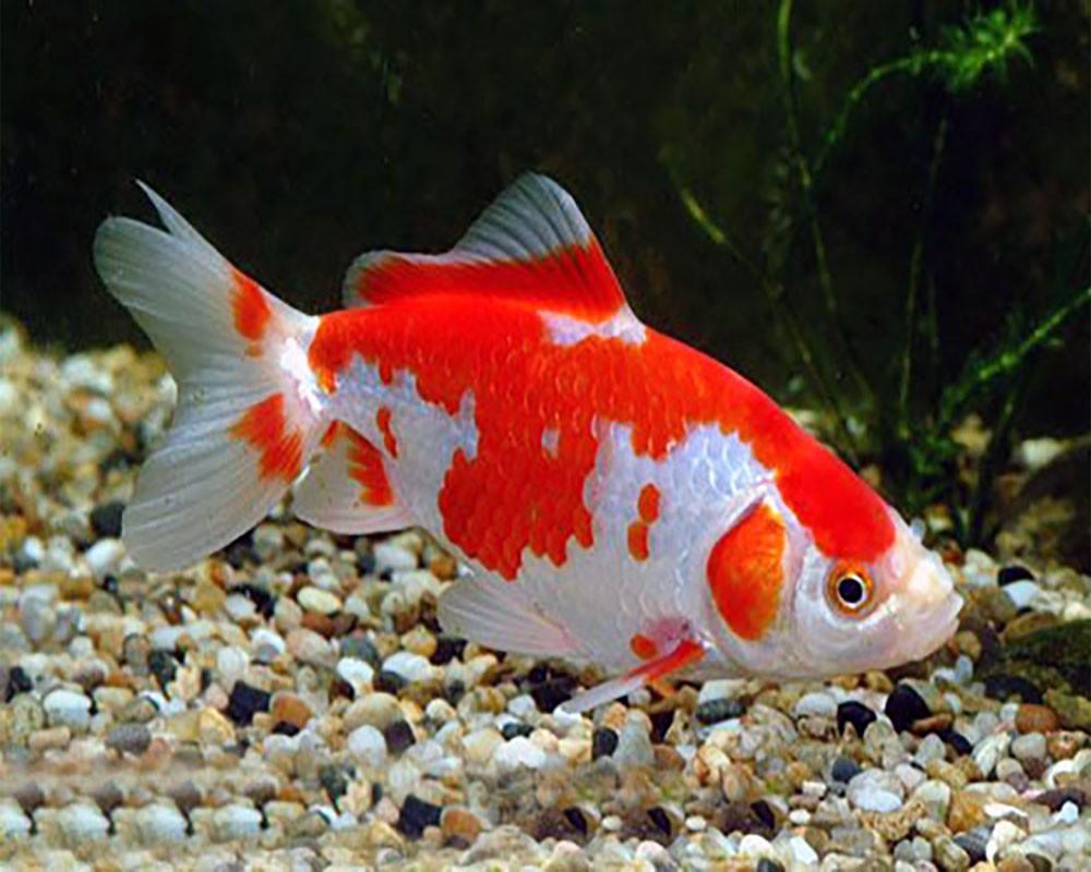 Золотая рыбка Вакин