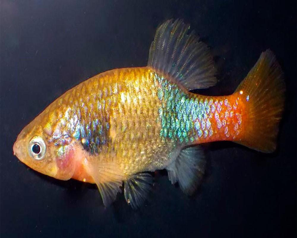 Ксенотока оранжевая