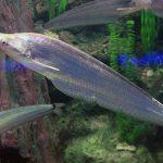 Фалакроноту (Phalacronotus apogon)