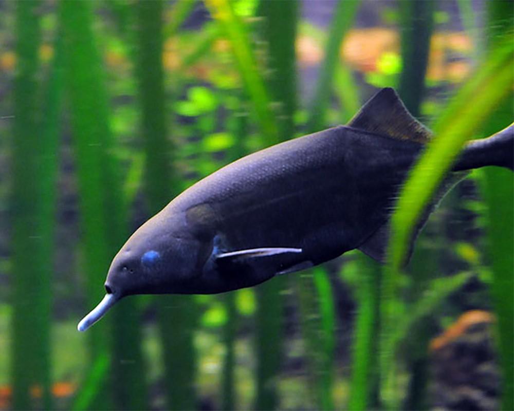 Рыба-слон