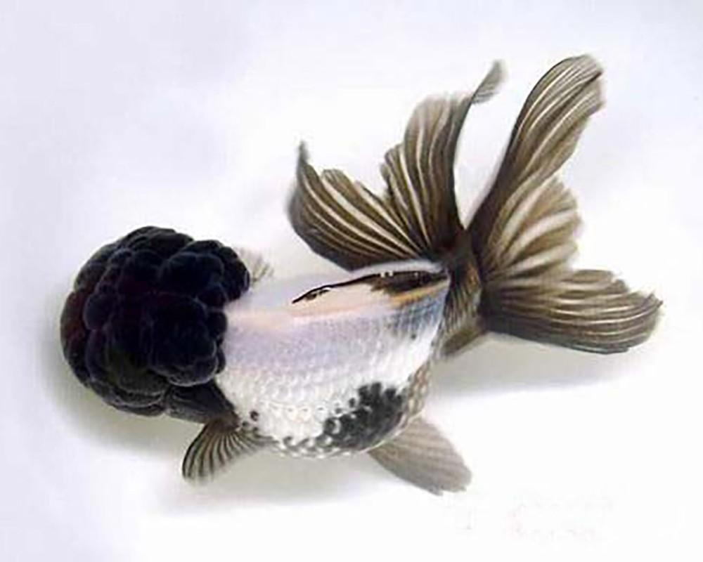 Золотая рыбка Панда