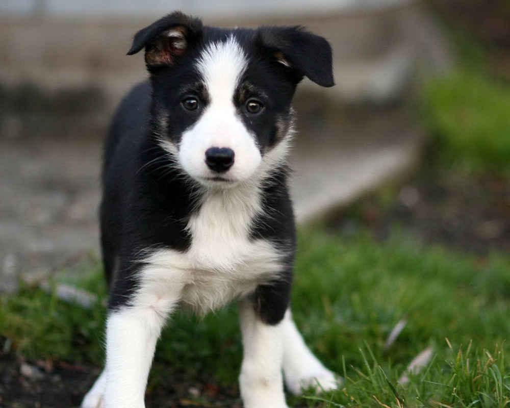 https://pets24.info/wp-content/uploads/border-collie-puppies.jpg