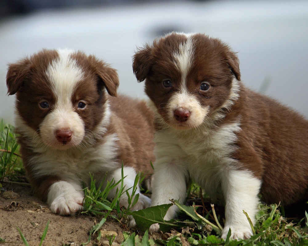 https://pets24.info/wp-content/uploads/border-collie-puppy.jpg