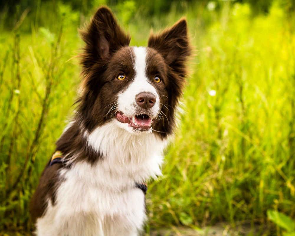 https://pets24.info/wp-content/uploads/dogs-border-collie.jpg