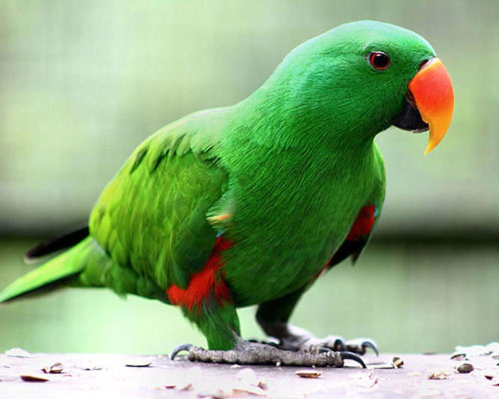 Благородные попугаи эклектусы