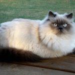 Гималайская кошка (гималаи)