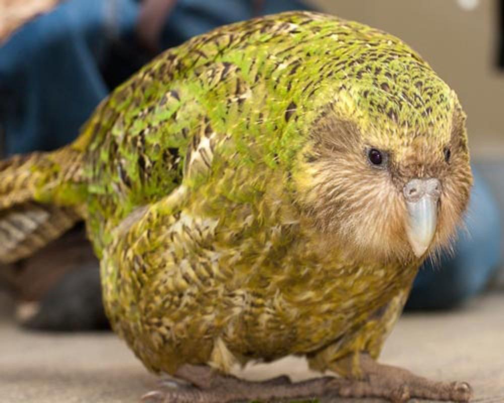 Какапо (совиный попугай)
