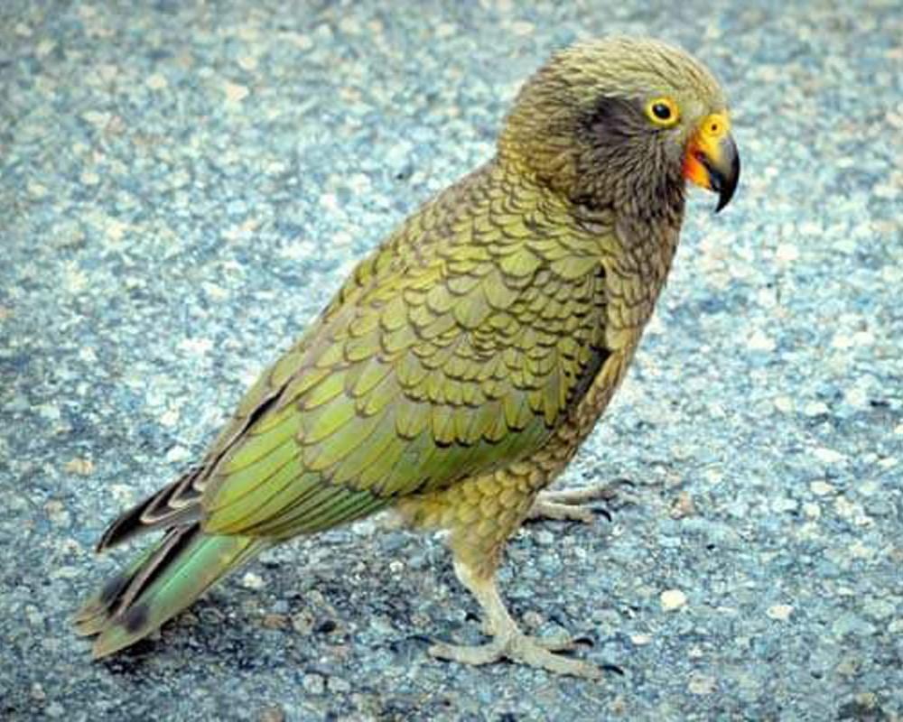 Попугай кеа (нестор)