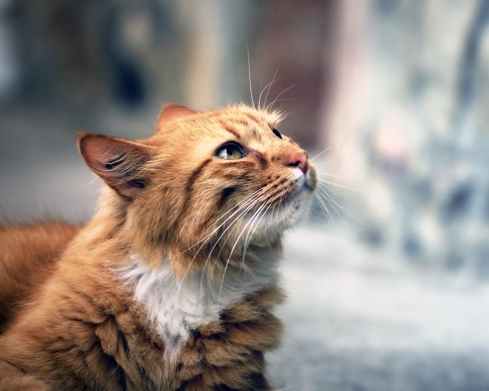 Кимрик (кимрийская кошка)