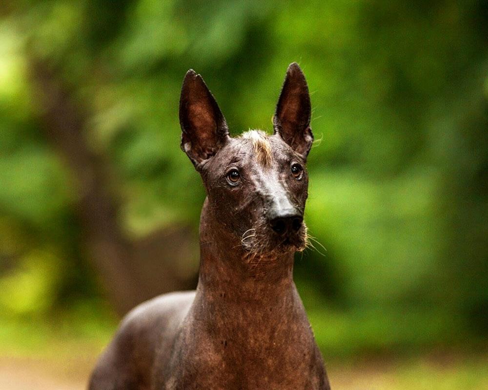Мексиканская голая собака (ксолойтцкуинтли)