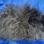 Морская свинка породы Минипли