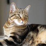 Сококе (африканская кошка, соукок)